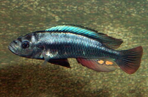 Haplochromis sp. Matumbi Hunter - Foto Erwin Schraml