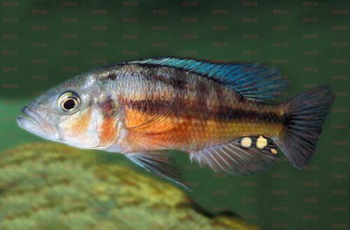 Haplochromis sp. Orange Rock Hunter - Foto Erwin Schraml