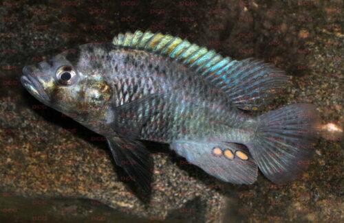Haplochromis sp. Sweetwater - Foto Erwin Schraml