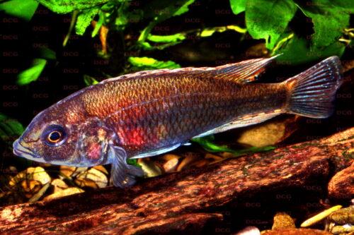 Haplochromis xenognathus Nyegezi Bay - Foto Lothar Seegers