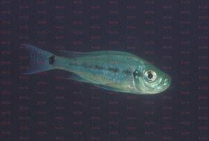 haplotaxodon microlepis foto heinz büscher-dcg-cichlidenverzeichnis-tanganjikasee