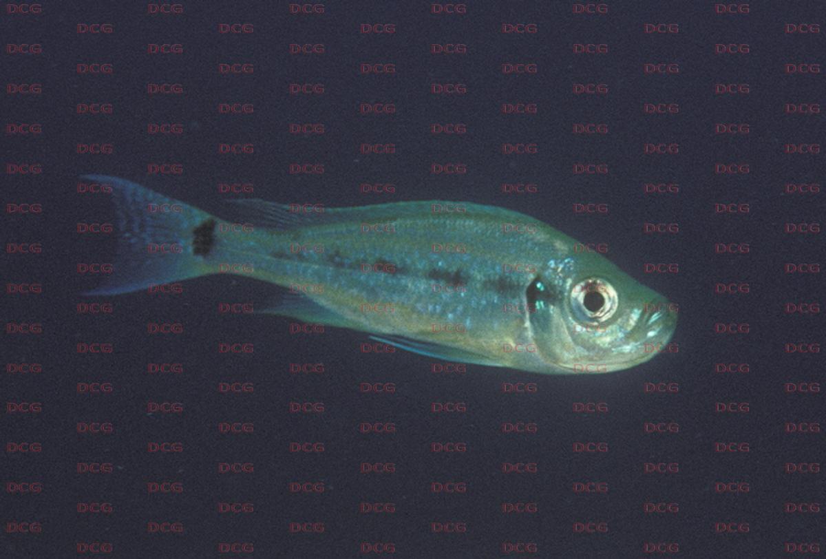 Haplotaxodon
