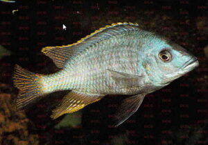 Hemitilapia oxyrhynchus - Foto: Andreas Spreinat