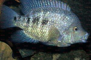 Herichthys tepehua - Foto Uwe Werner