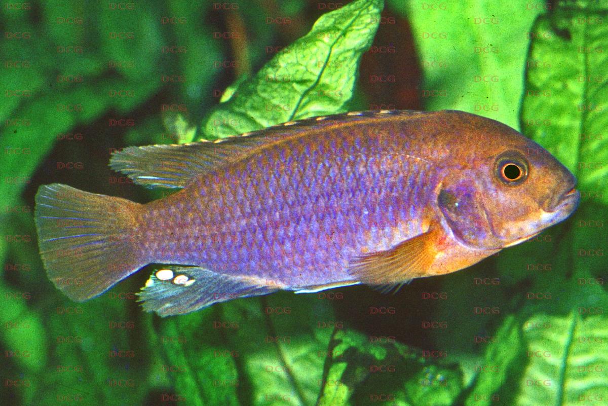 Iodotropheus