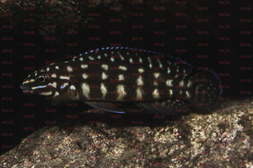 Julidochromis marlieri - Foto Magnus u. Mikael Karlsson