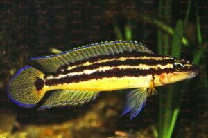 julidochromis ornatus foto dik hek-dcg-cichlidenverzeichnis-tanganjikasee