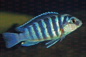 Labidochromis chisumulae - Foto: Wolfgang Staeck
