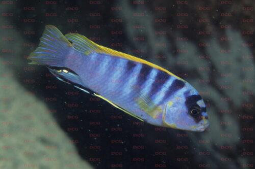 Labidochromis sp. Hongi - Foto Andreas Spreinat