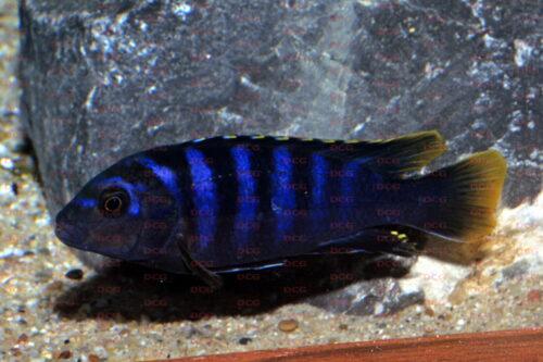 Labidochromis sp. Mbamba Bay - Foto Thorsten Grebener
