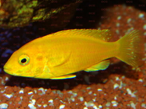 Labidochromis sp. Yellow Kakusa - Foto Thorsten Grebener