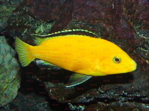 Labidochromis sp. Yellow Lions Cove - Foto Thorsten Grebener