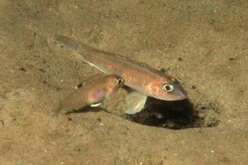 Lamprologus kungweensis - Foto Heinz Büscher
