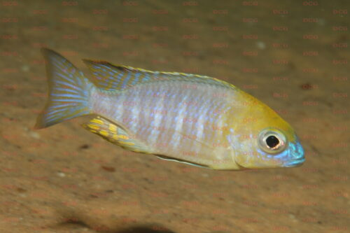 Lethrinops sp. yellow collar - Foto Andreas Spreinat
