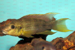 Limbochromis robertsi - Foto: Erwin Schraml