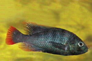 lithochromis rubripinnis Foto Axel Böhner - IGV Interessengemeinschaft Victoriasee-Cichliden