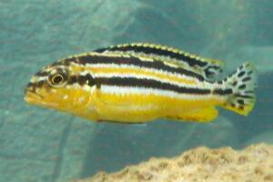Melanochromis auratus - Foto: Stefan Pierdzig