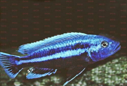Melanochromis chipokae - Foto Wolfgang Staeck