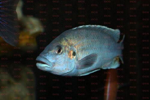 Melanochromis lepidiadaptes - Foto Ralf Bauer