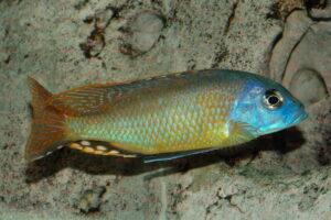 Naevochromis chrysogaster - Foto: Andreas Spreinat
