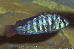 Neochromis nigricans - Foto: Wolfgang Staeck