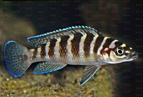 Neolamprologus cylindricus - Foto Wolfgang Staeck