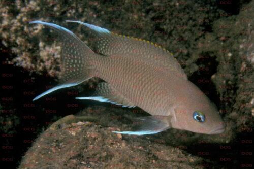 Neolamprologus marunguensis - Foto Heinz Büscher