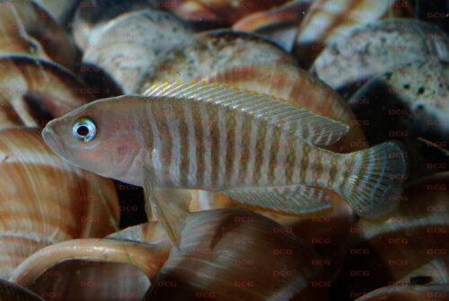 Neolamprologus multifaciatus - Foto Burkhard Schmidt