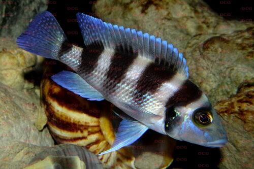Neolamprologus tretocephalus - Foto Jennifer Rieck