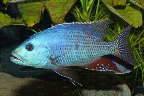 Nimbochromis fuscotaeniatus - Foto Andreas Spreinat