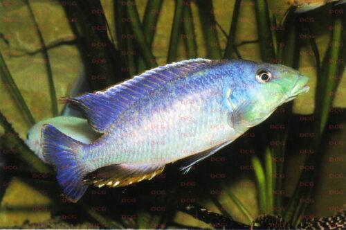 Nimbochromis linni - Foto Andreas Spreinat