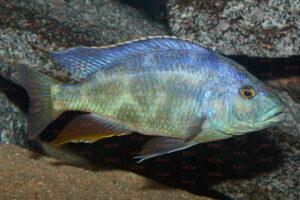 Nimbochromis polystigma - Foto: Andreas Spreinat