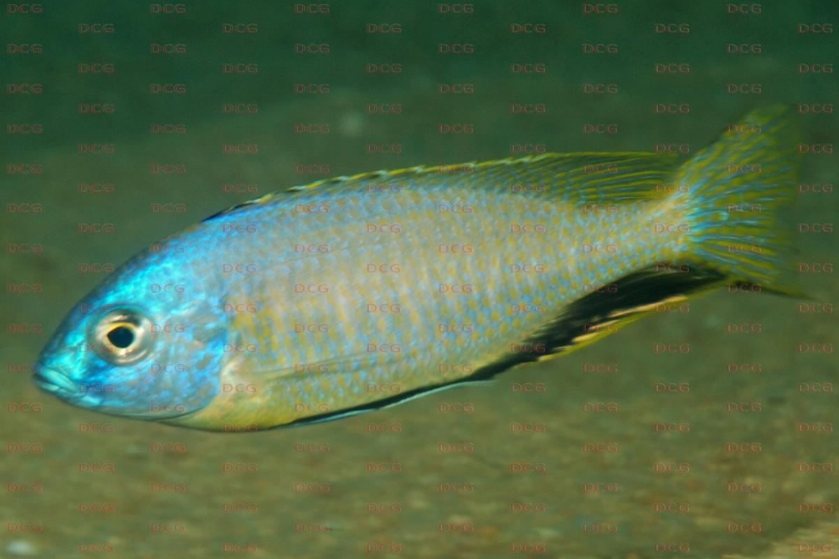 Nyassachromis