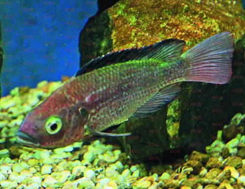 Oreochromis esculentus - Foto Reinhard Reuter