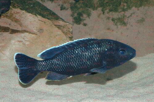 Oreochromis karongae - Foto Andreas Spreinat