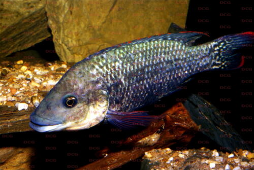 Oreochromis mossamicus - Foto Uwe Werner