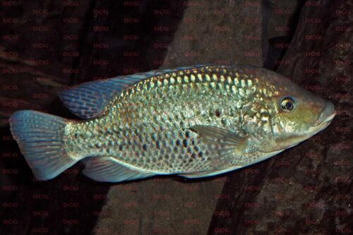 Oreochromis niloticus - Foto Stefan Wessels
