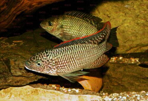 Oreochromis schwebischi - Foto Uwe Werner