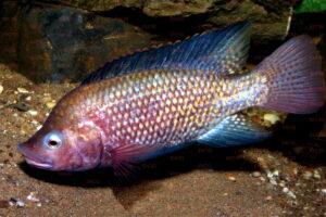 Oreochromis spilurus - Foto: Uwe Werner