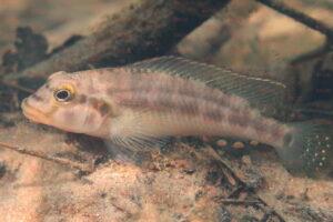 Orthochromis gecki - Foto: Frederic Schedel
