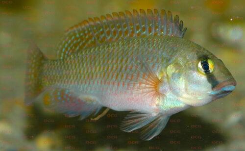 Orthochromis machadoi - Foto Erwin Schraml