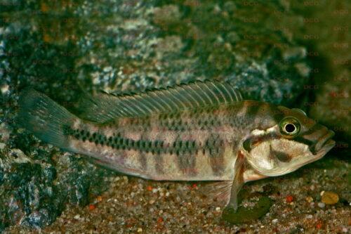 Orthochromis stormsi - Foto Wolfgang Staeck