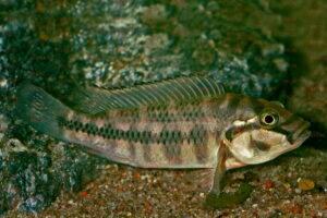 Orthochromis stormsi - Foto: Wolfgang Staeck