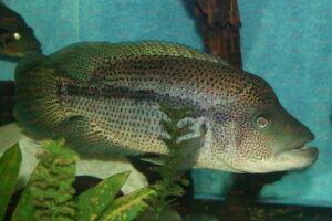 Parachromis dovii - Foto Peter Buchhauser