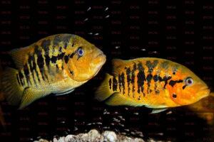 Parachromis friedrichsthalii - Foto Uwe Werner