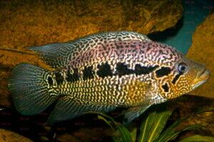 Parachromis loisellei - Foto Uwe Werner