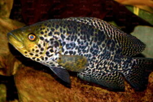 parachromis managuensis foto michael pilack-dcg-cichlidenverzeichnis-nord-mittelamerika