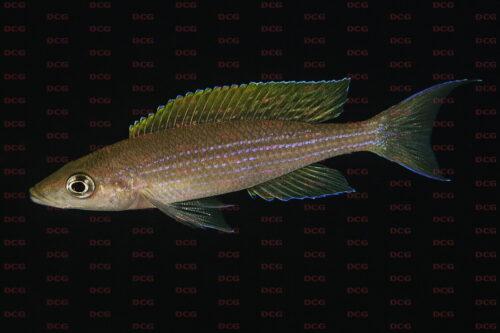 Paracyprichromis brieni mpando point - Foto Magnus u. Mikael Karlsson