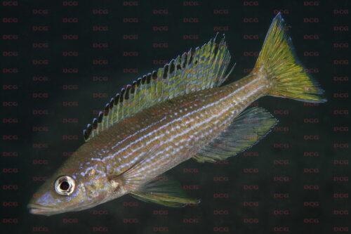 Paracyprichromis brieni nkondwe island - Foto Magnus u. Mikael Karlsson