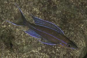 Paracyprichromis nigripinnis - Foto: Magnus und Mikael Karlsson